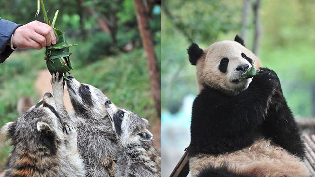 萌翻了!野生动物吃粽子迎端午