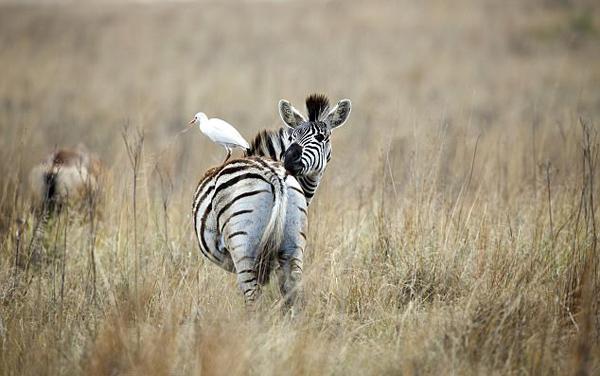 """南非白鹭""""骑""""斑马成独特风景"""