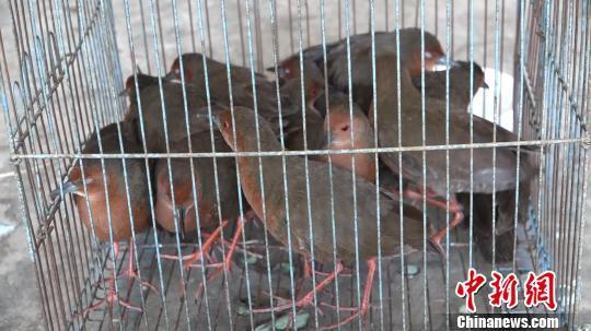 吹箫诱捕62只国家保护动物,云南叔侄二人被立案侦查