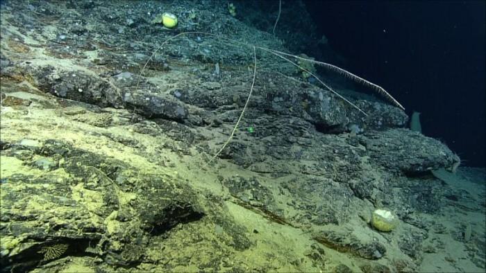 加拿大科学家在北大西洋发现新的肉食性海绵生物