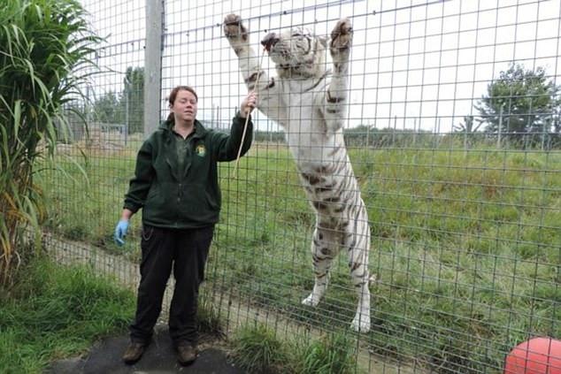 英国一动物园发生管理员被老虎咬死事故