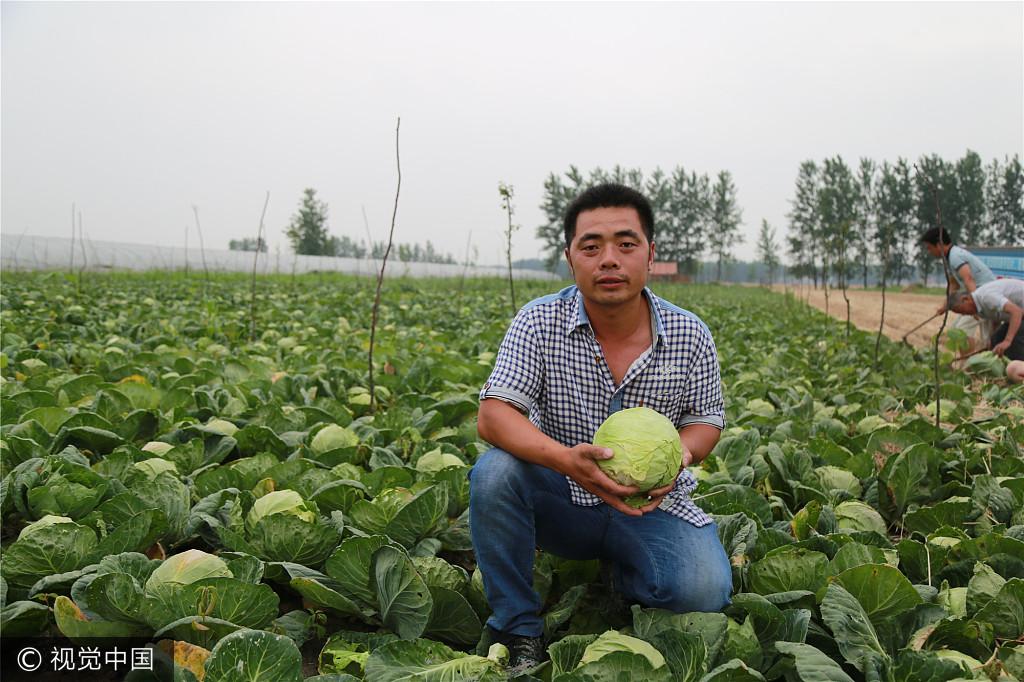 安徽阜阳:男子返乡种菜遇销售难 十万斤蔬菜免费送乡邻