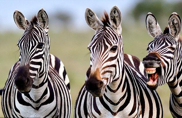 惊喜!美摄影师非洲拍斑马 意外拍下其大笑照片
