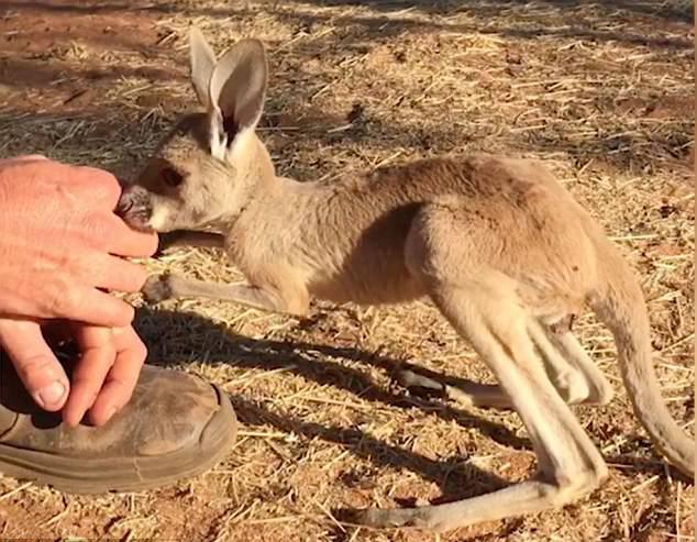 澳动物救助员悉心照料孤儿小袋鼠教其站立