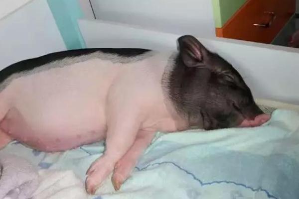 """90后女孩买""""小香猪""""长成300斤大肥猪 同吃同睡8年"""
