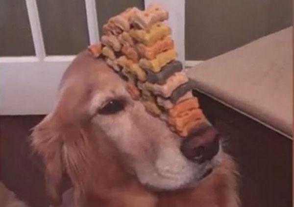 金毛犬秀逆天平衡神功:鼻上顶50块狗粮