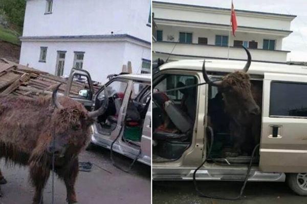 四川现盗牛贼 一辆面包车塞进两头牦牛