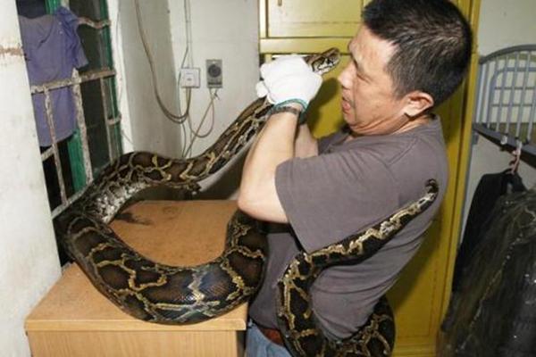 4.5米长巨蠎闯入民宅 上演人蛇大战