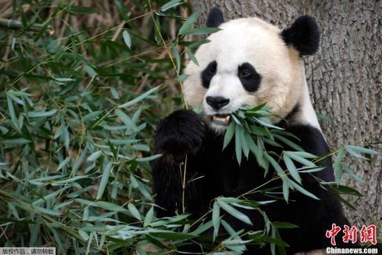 """走访旅美大熊猫""""受虐""""传闻发生地 一家三口""""一切安好"""""""