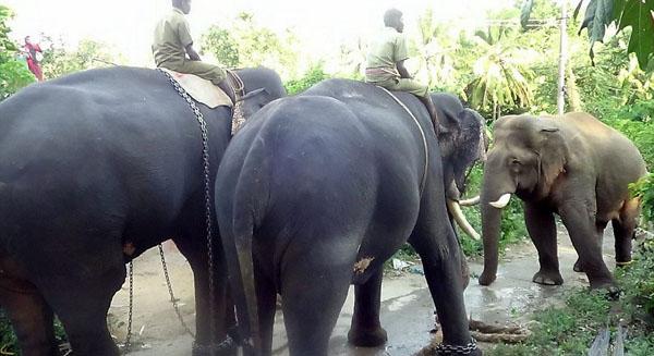 印度狂暴大象两年内杀9人被送往训练中心