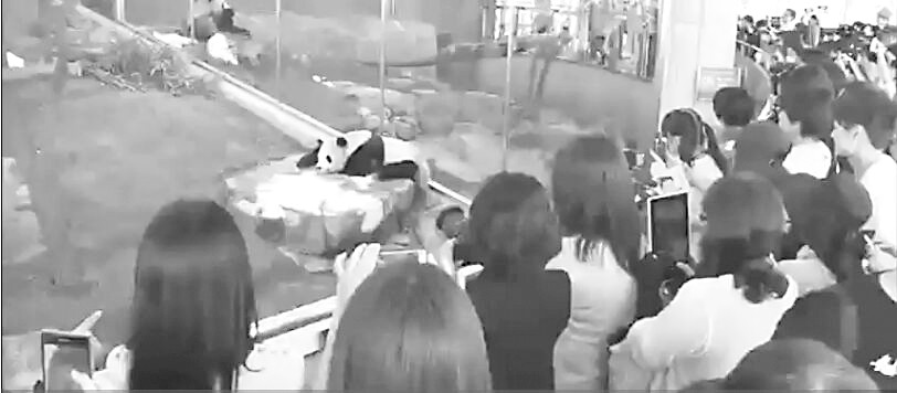 日本民众送别返回中国熊猫 粉丝依依不舍