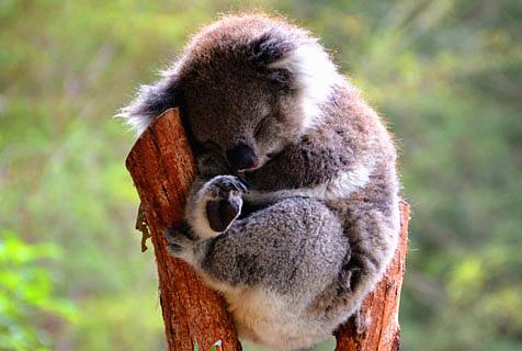 澳洲考拉树枝上睡大觉 缩成团萌坏了