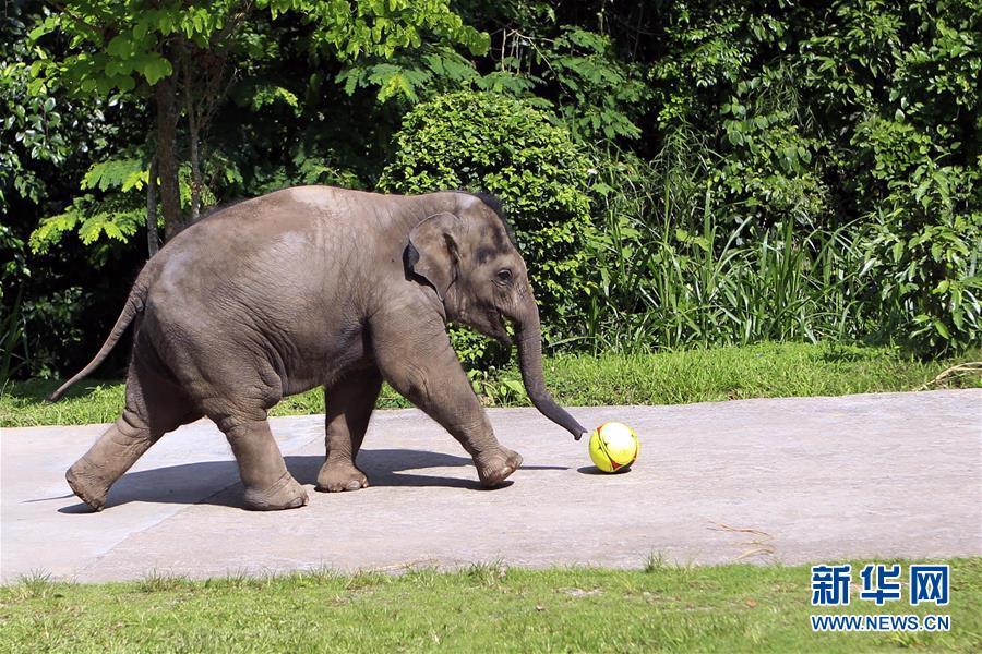 探访滇西南亚洲象种源繁育及救助中心