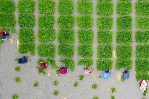 芒种时节,各地农民插秧收割