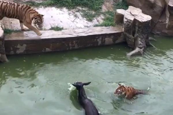 疑因股东内部矛盾 动物园活驴被扔进老虎池