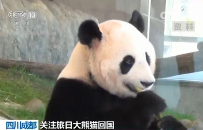 旅日大熊猫顺利返回家乡成都 观察期适应新环境
