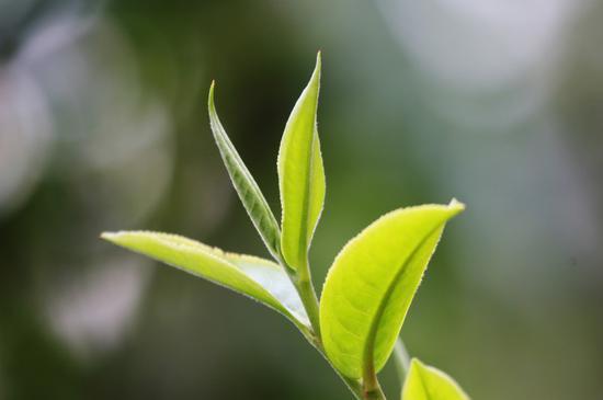 普洱茶真有致癌物黄曲霉吗?