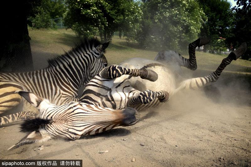 当地时间2017年6月7日,捷克,usti nad labem动物园里的斑马在土里打滚