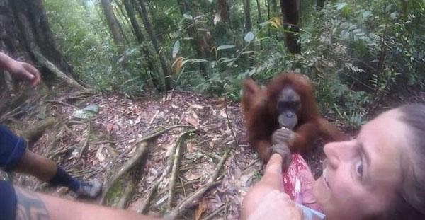 哭笑不得!印尼丛林大猩猩抓住女游客不松手(图)