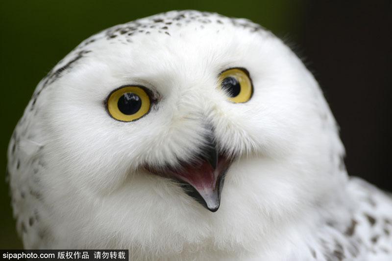 捷克动物园雪鸮天生爱笑 呆萌可爱