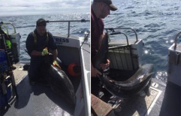 英国男子奋战一小时钓上2米长霸气鼠鲨