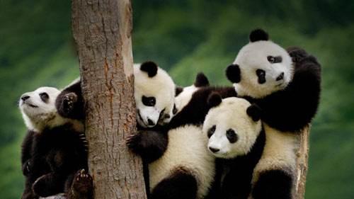 世界自然遗产:四川大熊猫栖息地
