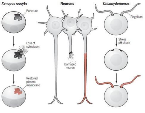 Science特刊:人体能不能完美修复与再生?