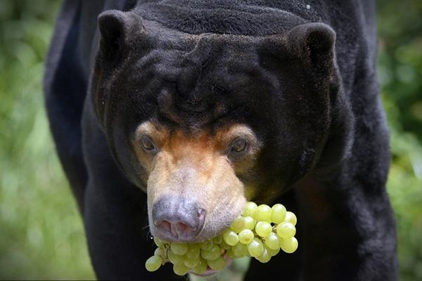 捷克动物园马来熊吃葡萄模样憨傻逗趣十足