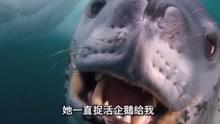 海豹怕摄影师会饿死 结果不断捉企鹅给他吃