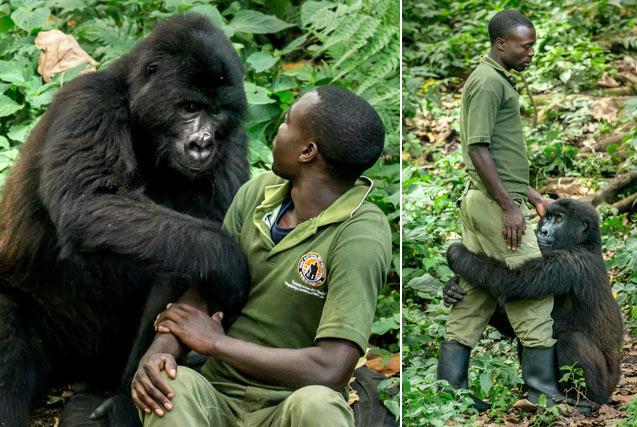 刚果母猩猩环抱沮丧管理员给予鼓励