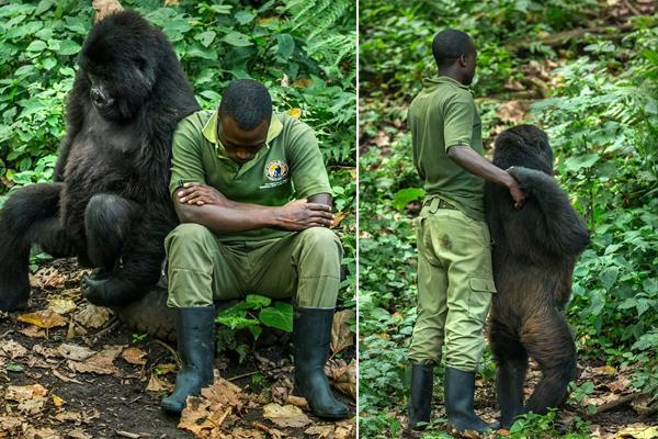 暖心!大猩猩模仿饲养员郁闷表情逗其开心