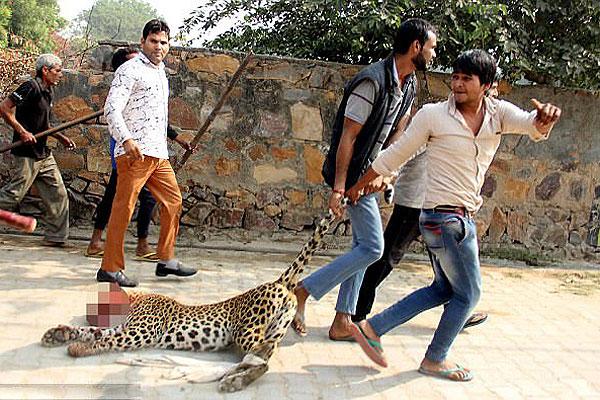 印度一花豹闯入村庄咬伤村民被乱棍打死