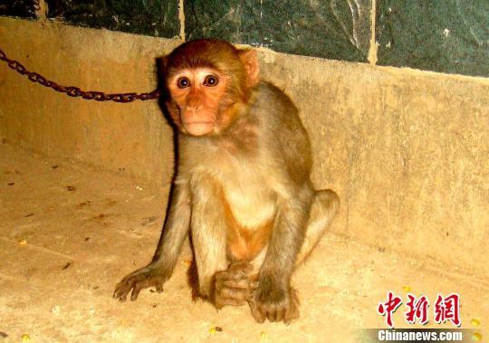 """男子嫌""""宠物""""猕猴吵闹 放网上售卖被捕"""