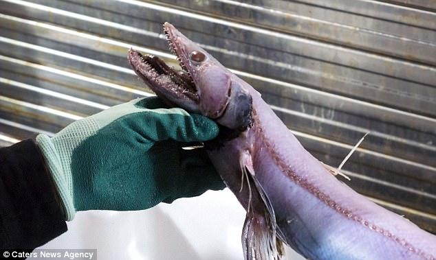 """澳大利亚海底现""""怪物"""":蜥蜴脸鳗鱼身"""