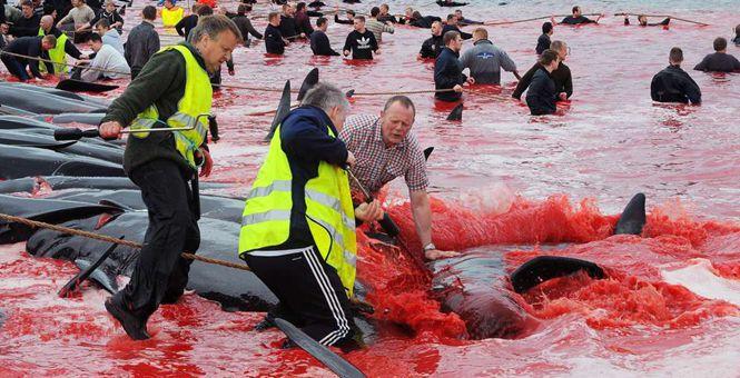 """""""血流成海"""" 法罗群岛集体捕杀巨头鲸场面血腥"""