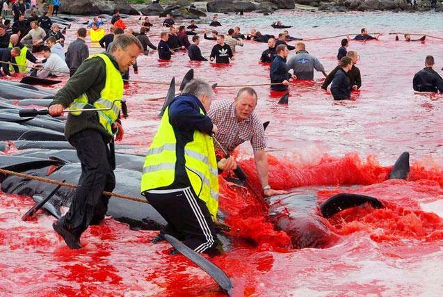 血腥!法罗群岛集体捕杀巨头鲸染红海湾