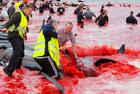 法罗群岛杀鲸鱼染红海湾
