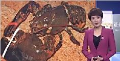 被餐馆养了20年 132岁龙虾重获自由