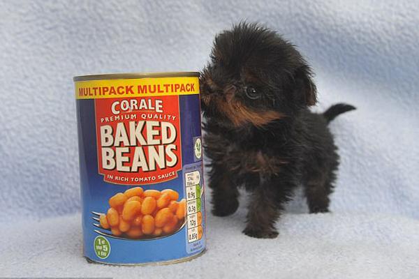 可爱!英最小狗狗不足黄豆罐高仅重71克