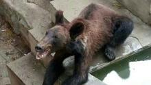 棕熊骨瘦嶙峋 园方回应熊小不会囤脂肪