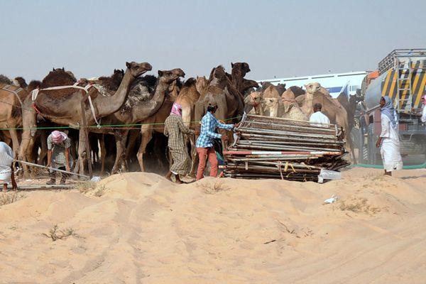 """沙特与卡塔尔断交殃及动物 上万头骆驼和羊遭""""驱逐"""""""