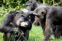 英国高温黑猩猩吃冰块食物