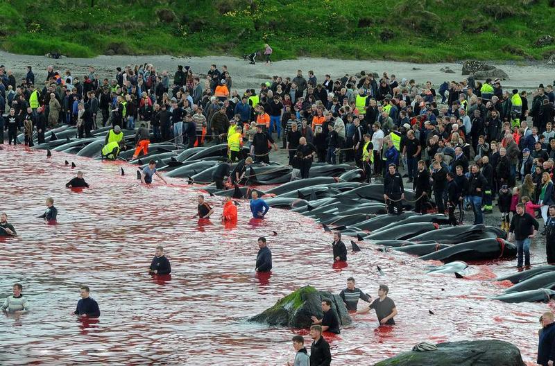 血腥!法罗群岛集体捕杀巨头鲸血染海湾