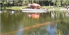 数千锦鲤排长队一同转圈