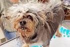 世界最丑狗赛 丑出天际