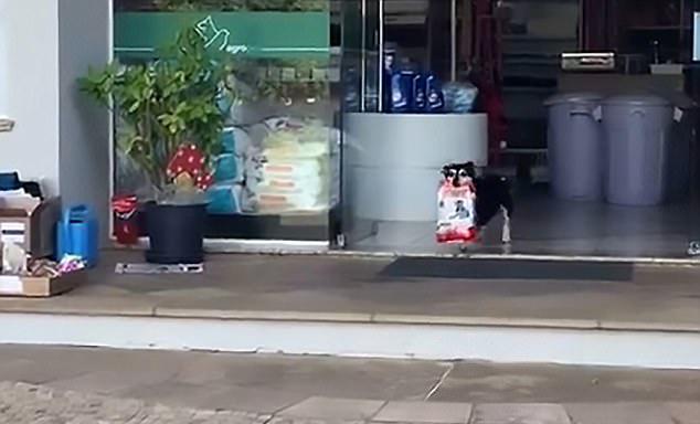 巴西天才狗狗每日独自去宠物店取晚餐