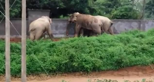印度三大象误入草药园 协力破坏围墙成功逃离