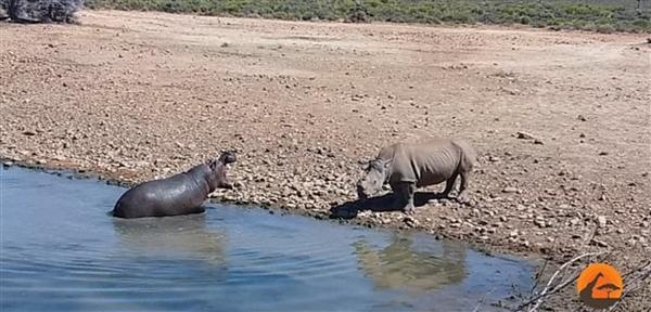 南非犀牛因抢占水源 被河马推到水中活活淹死