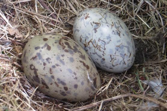 科学家解开鸟蛋形状差异很大的谜团