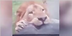 """危地马拉狮子""""异食癖"""""""